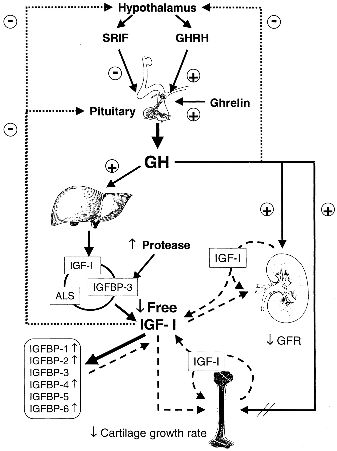 The Growth Hormone and Insulin-Like Growth Factor Axis: Its