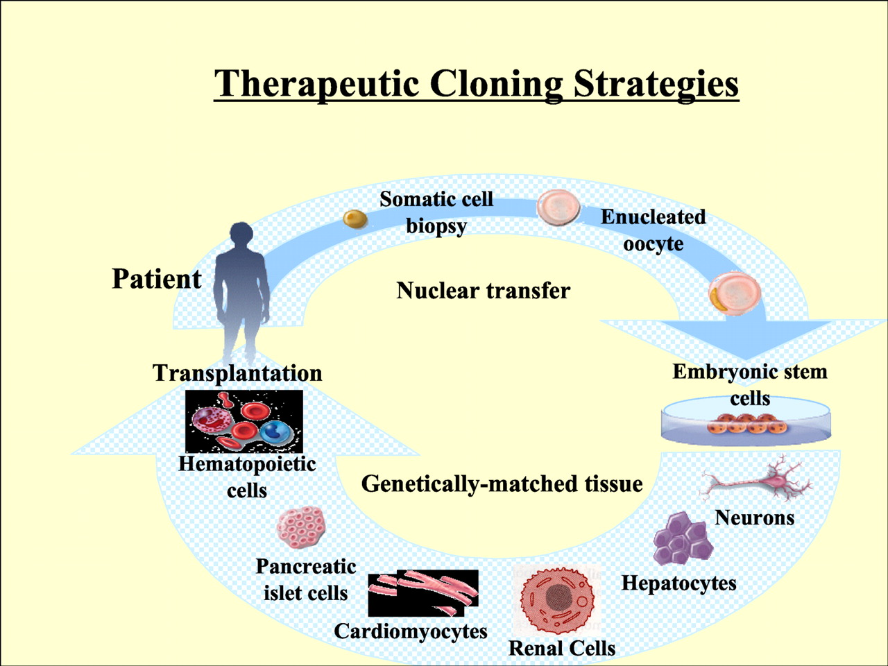 Stem Cell Transplantation and Tissue Engineering