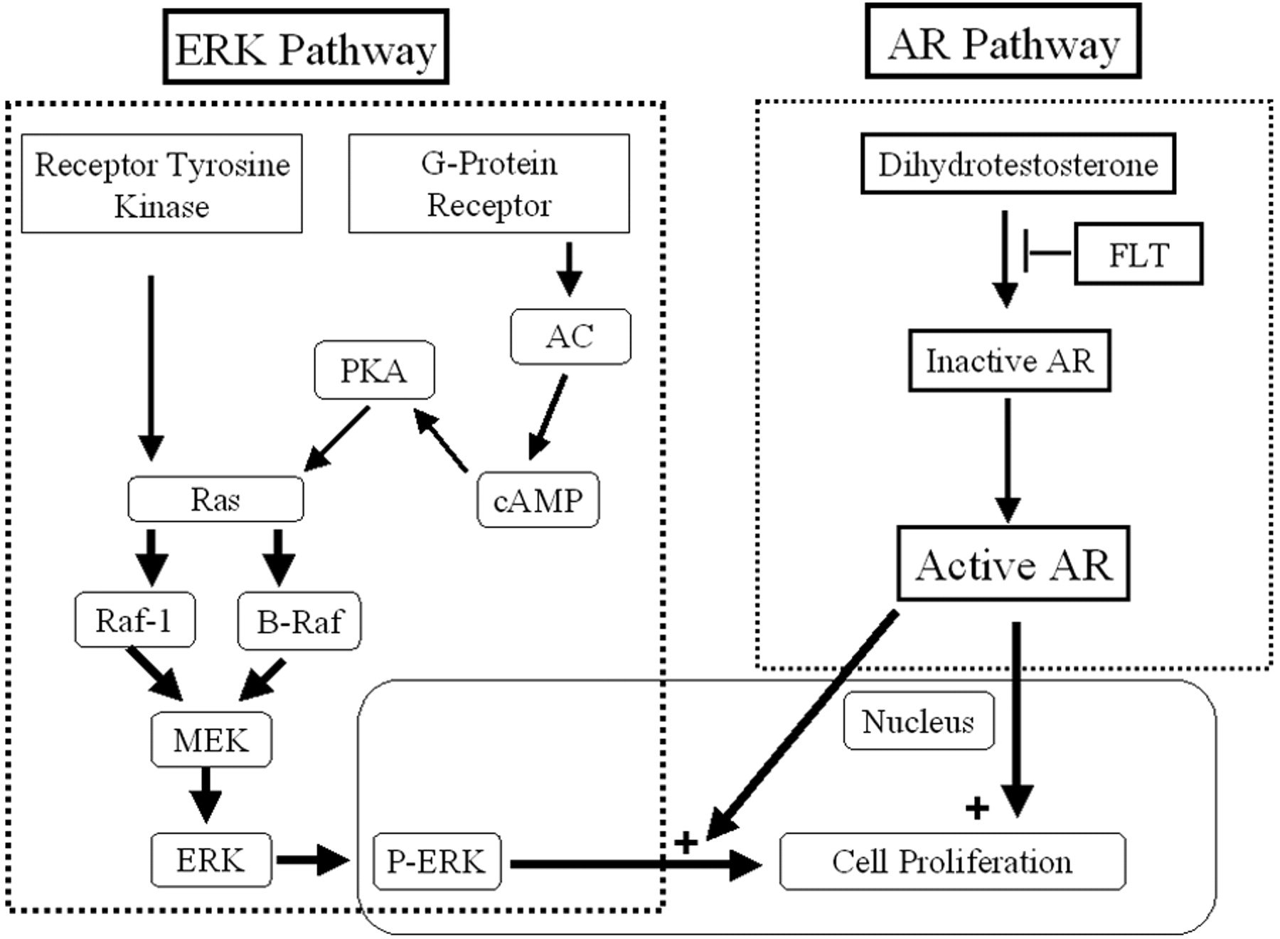 Androgen Receptor Pathway in Rats with Autosomal Dominant Polycystic