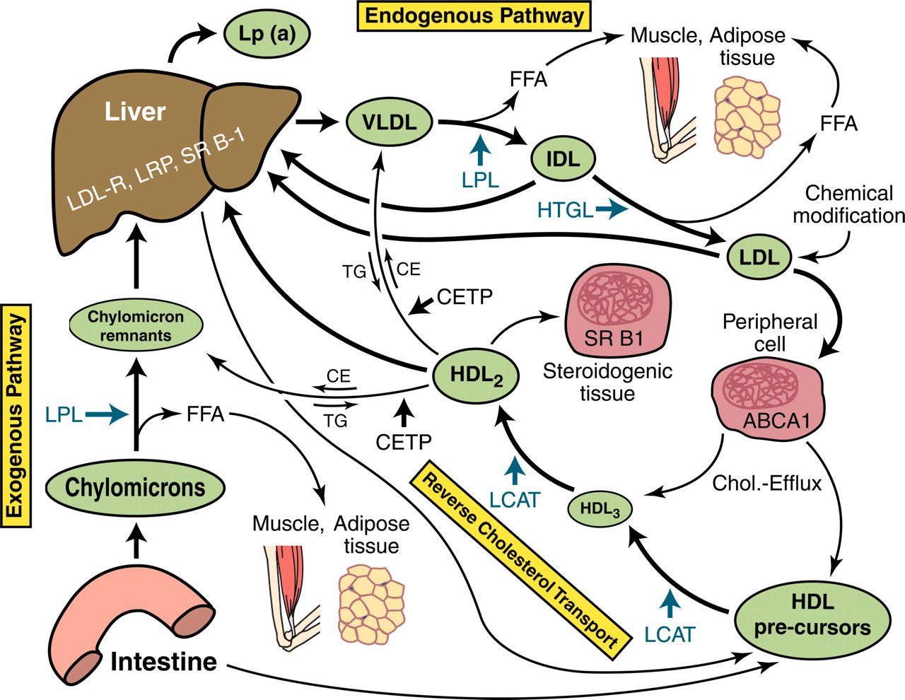 Lipoprotein Metabolism And Lipid Management In Chronic Kidney Disease American Society Of Nephrology