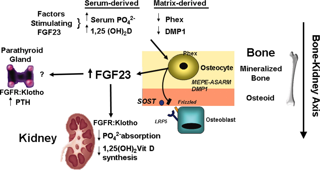 how fibroblast growth factor 23 works american society of nephrology