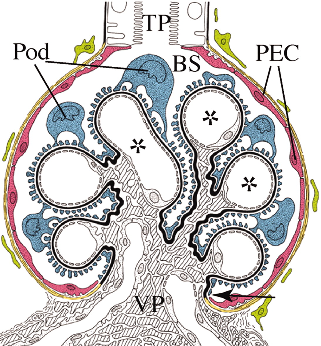 recruitment of podocytes from glomerular parietal epithelial cells
