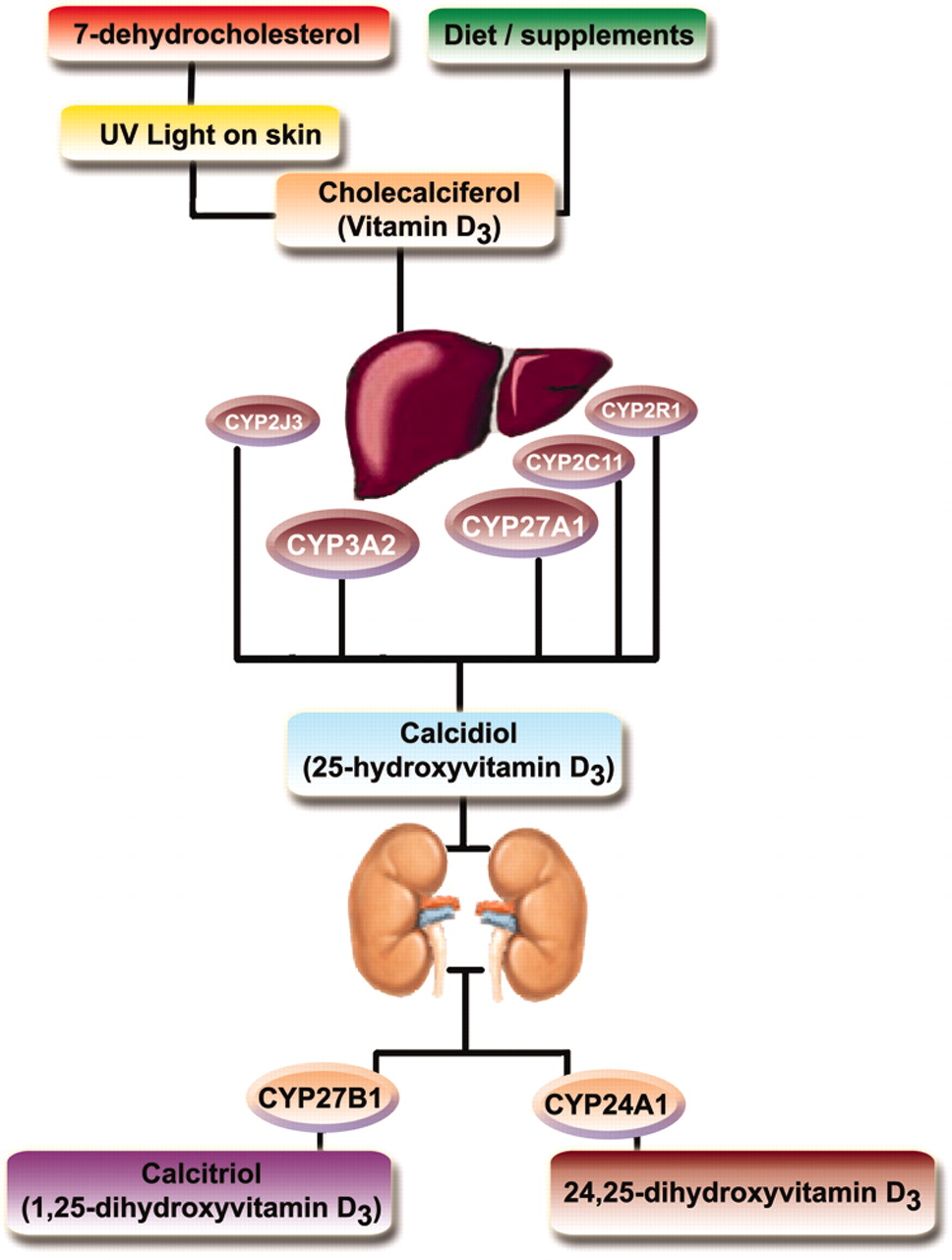 Reduced Hepatic Synthesis of Calcidiol in Uremia   American