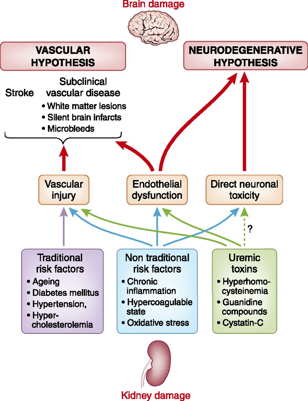 Cognitive Disorders and Dementia in CKD: The Neglected