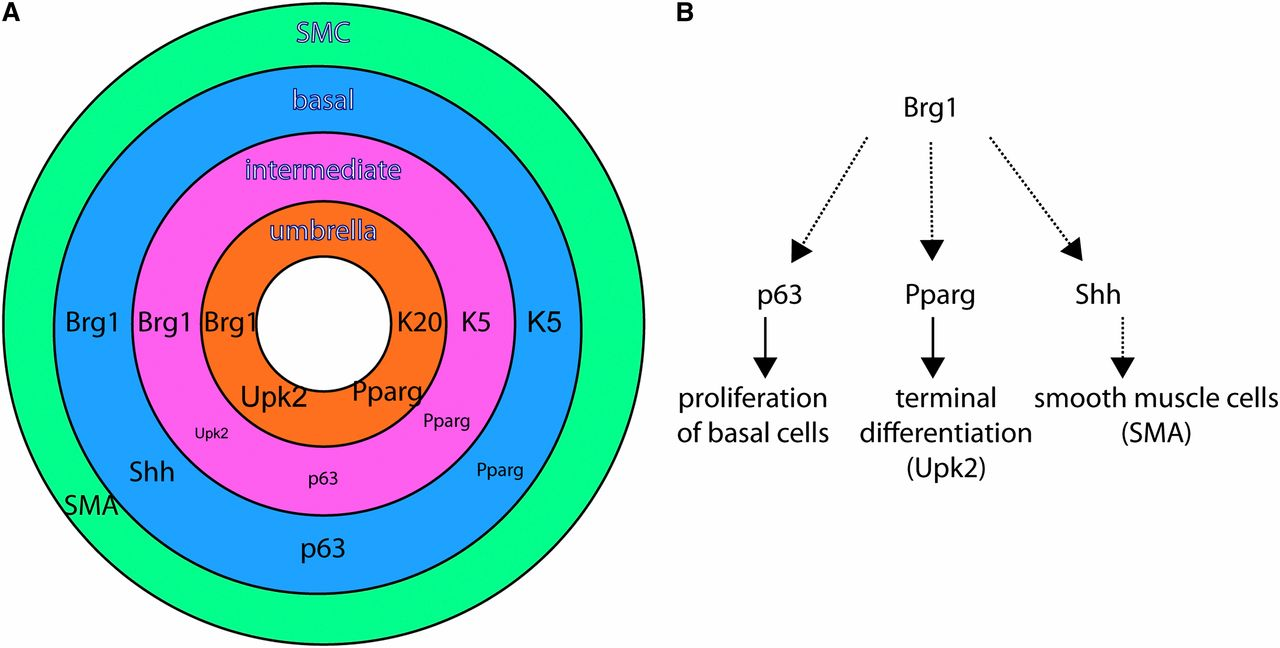Brg1 Determines Urothelial Cell Fate During Ureter Development