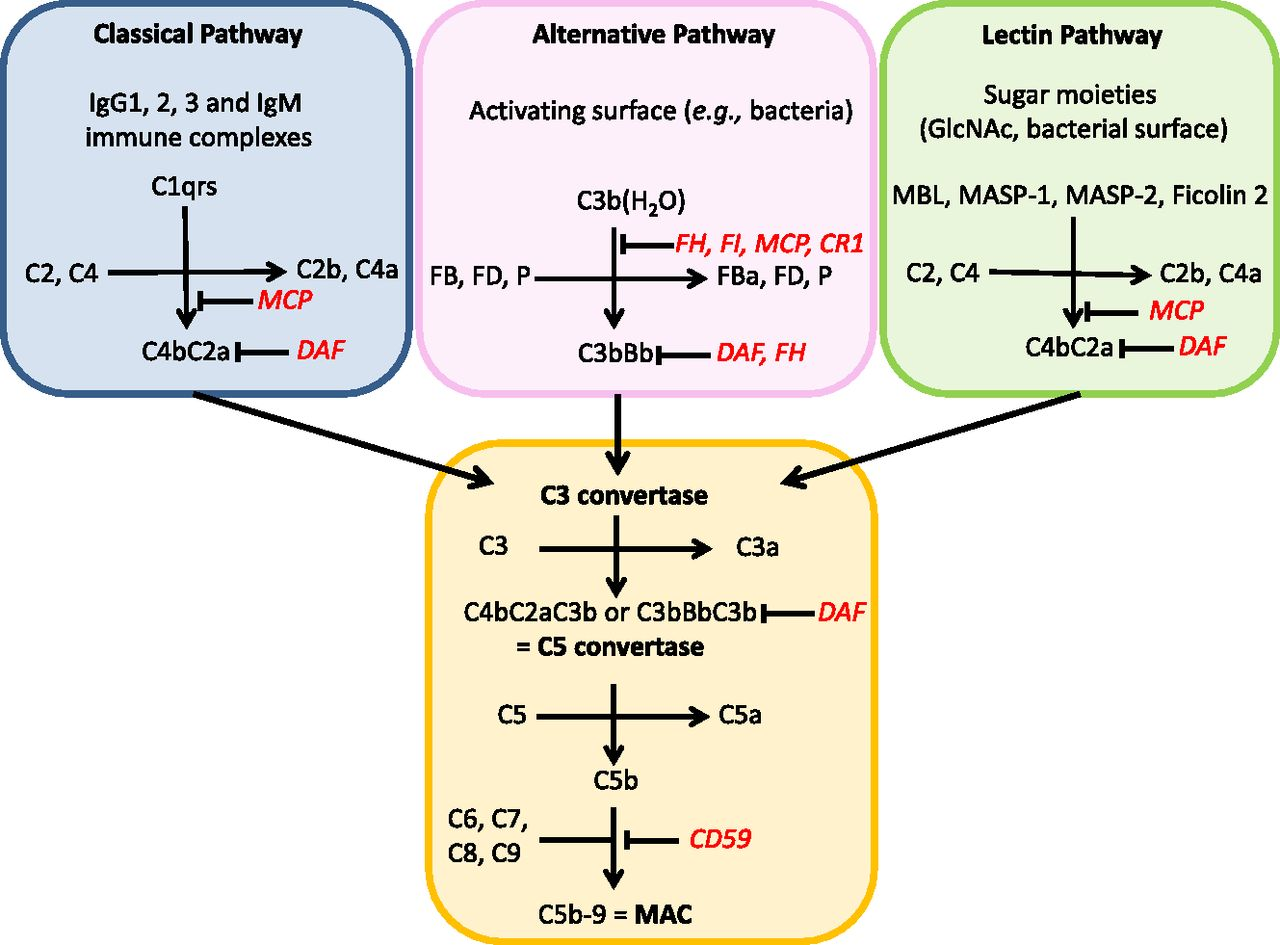 alternative pathway complement activation initiated