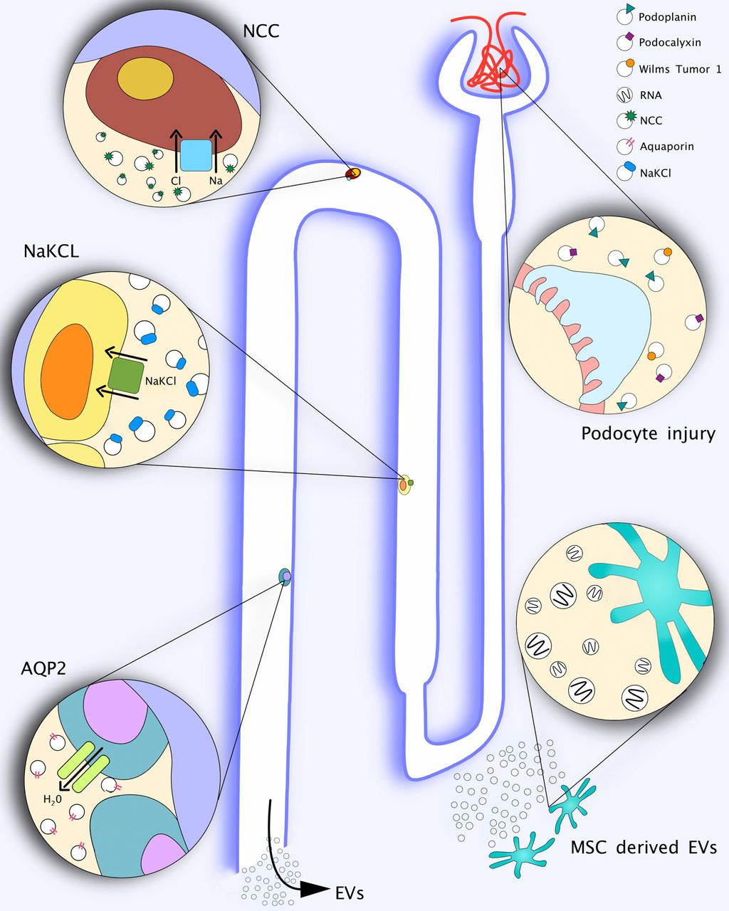 Extracellular Vesicles in Renal Diseases: More than Novel Biomarkers