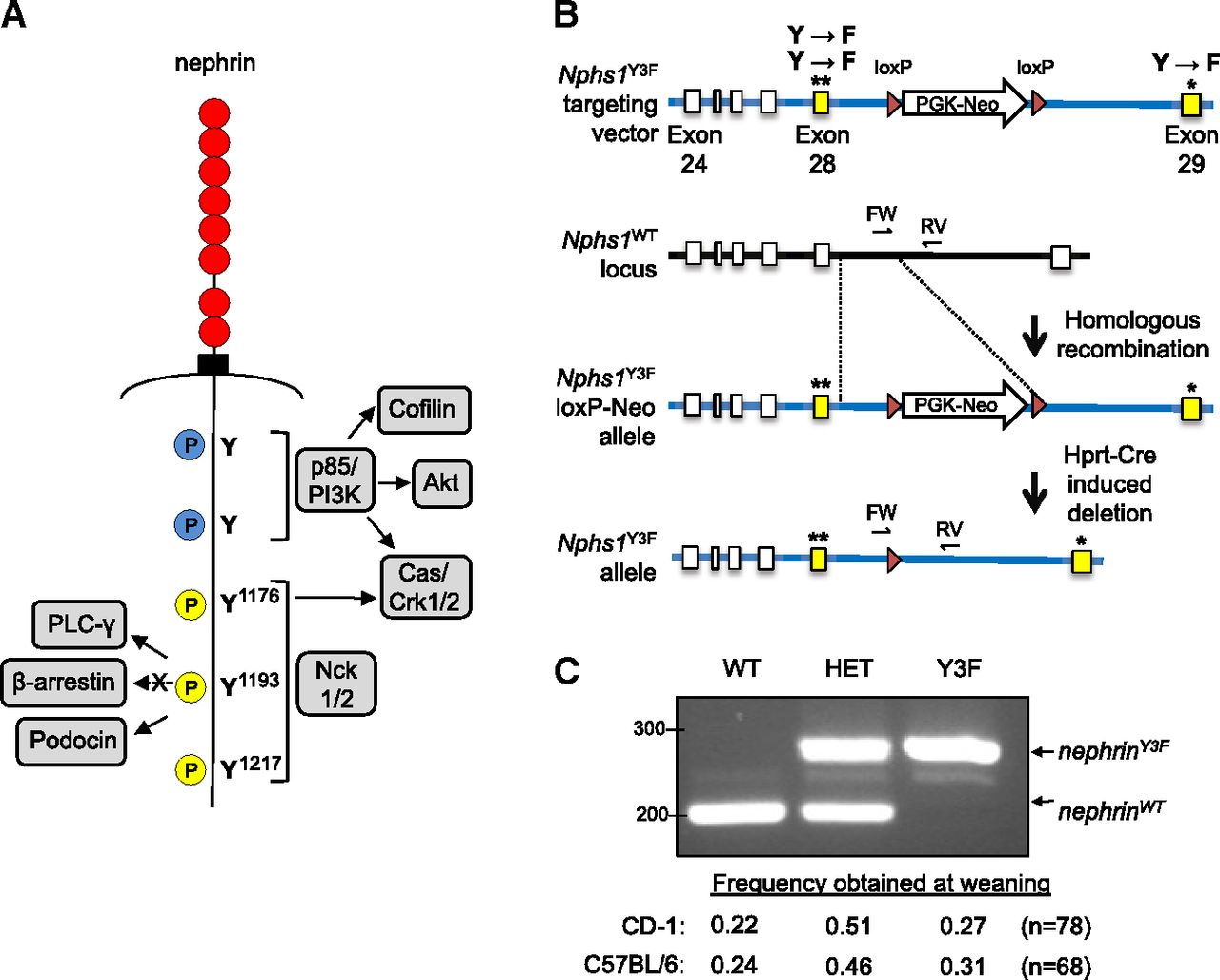 Nephrin Tyrosine Phosphorylation Is Required To Stabilize And Randall 102 Central Heating Timer Wiring Diagram Download Figure