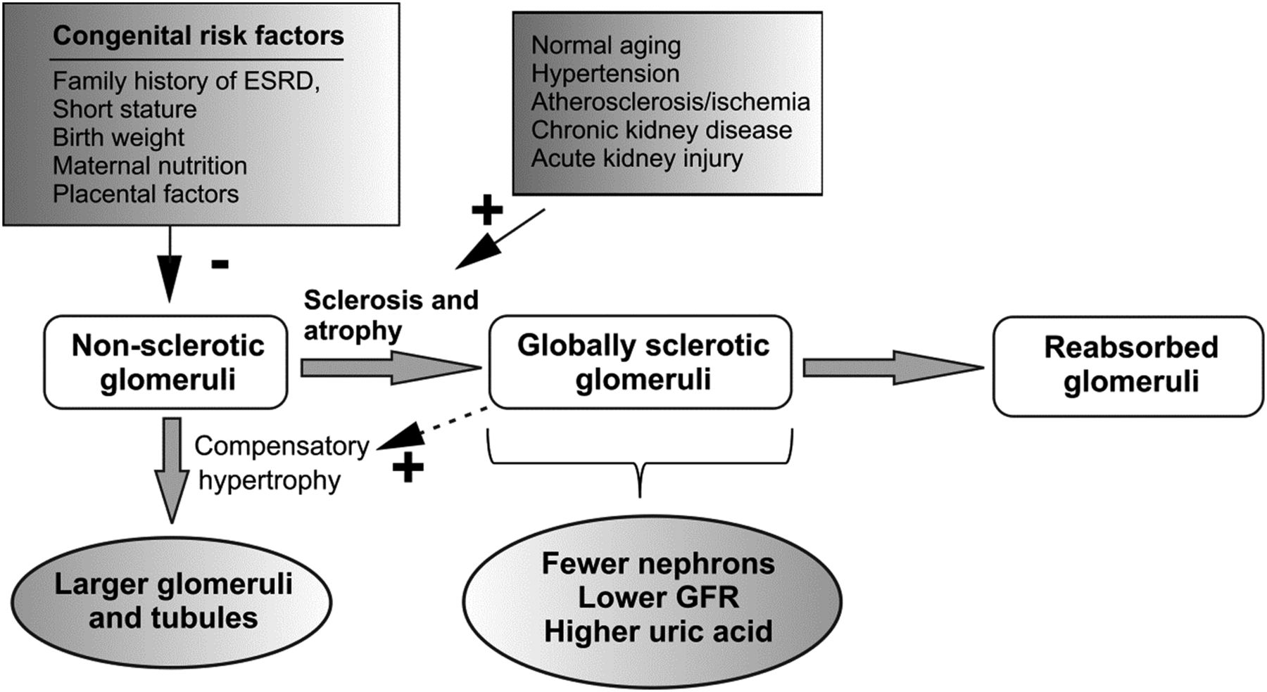 The Substantial Loss of Nephrons in Healthy Human Kidneys