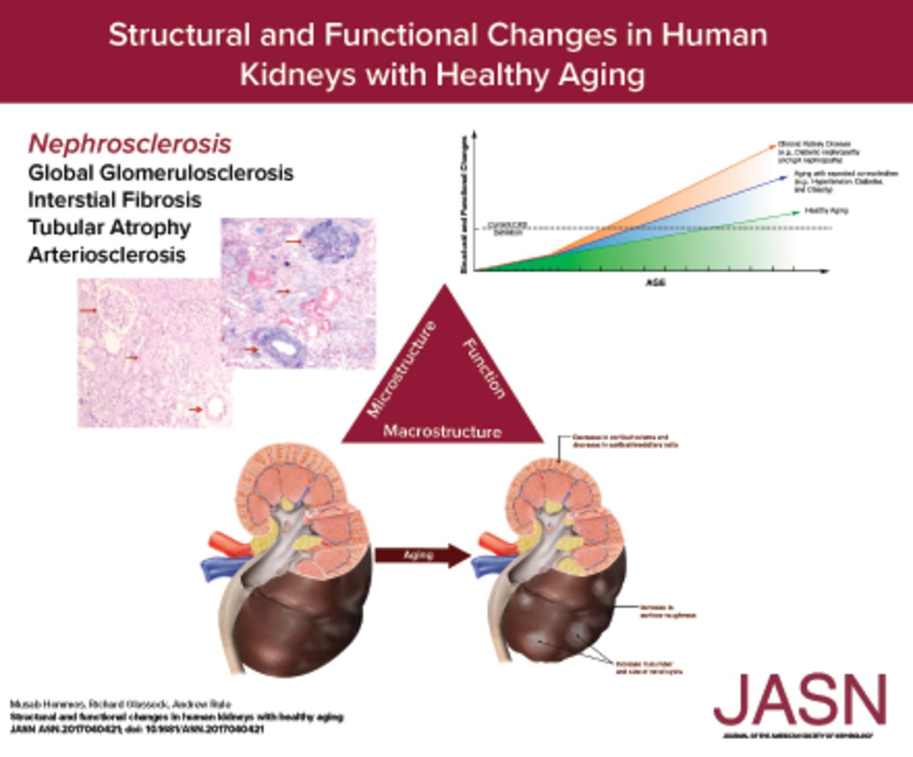 Structural And Functional Changes In Human Kidneys With Healthy