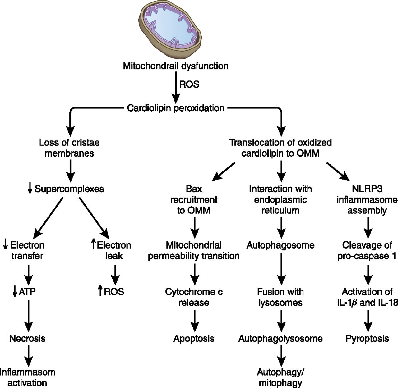 Pharmacologic Approaches To Improve Mitochondrial Function