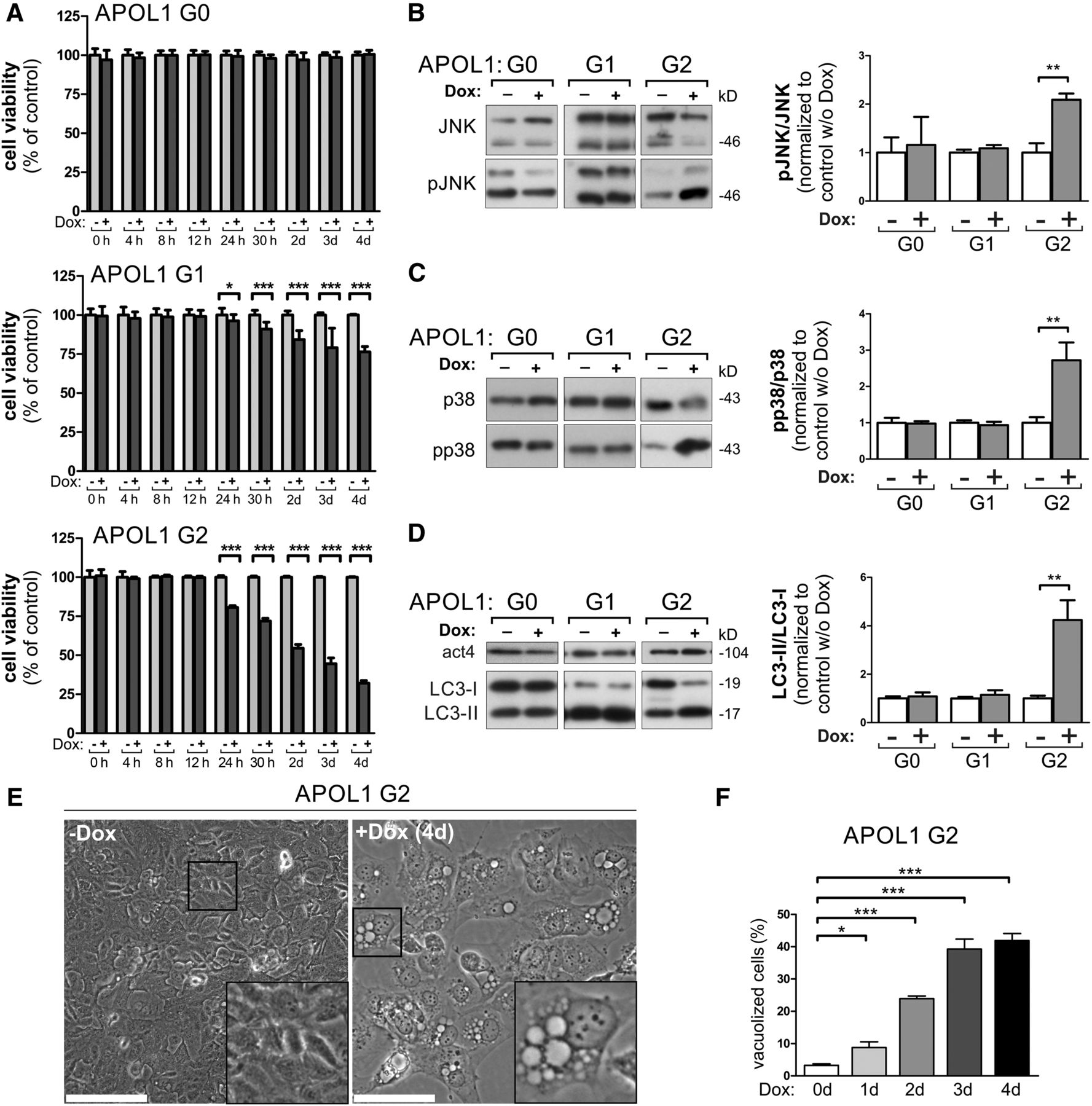 Intracellular APOL1 Risk Variants Cause Cytotoxicity Accompanied by