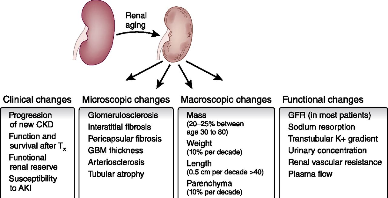Renal Aging Causes And Consequences American Society Of Nephrology