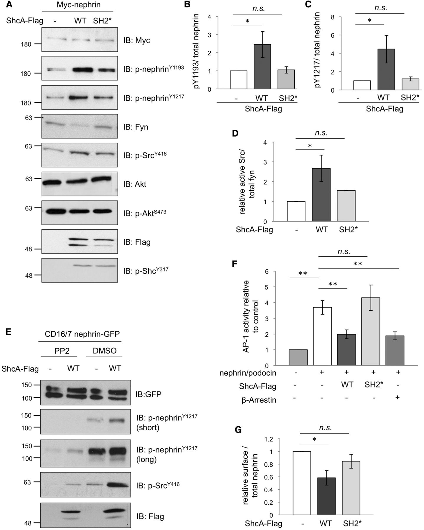 ShcA Adaptor Protein Promotes Nephrin Endocytosis and Is