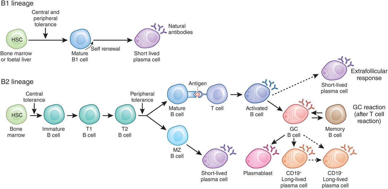Targeting b cells and plasma cells in glomerular diseases download figure publicscrutiny Gallery