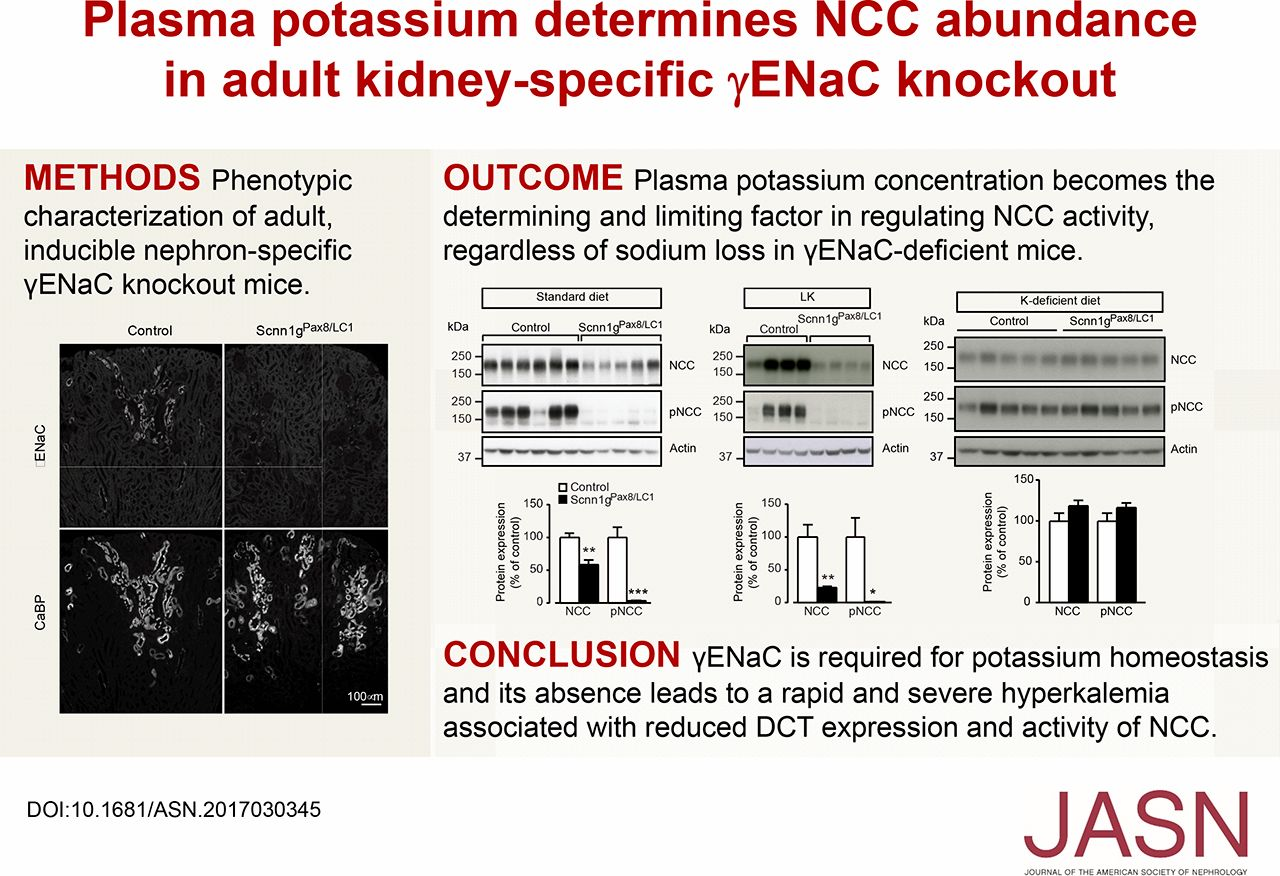 Plasma Potassium Determines NCC Abundance in Adult Kidney