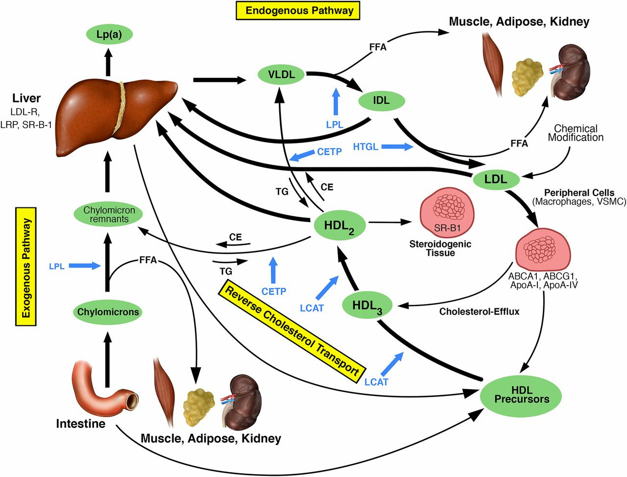 HDL in CKD—The Devil Is in the Detail | American Society of Nephrology