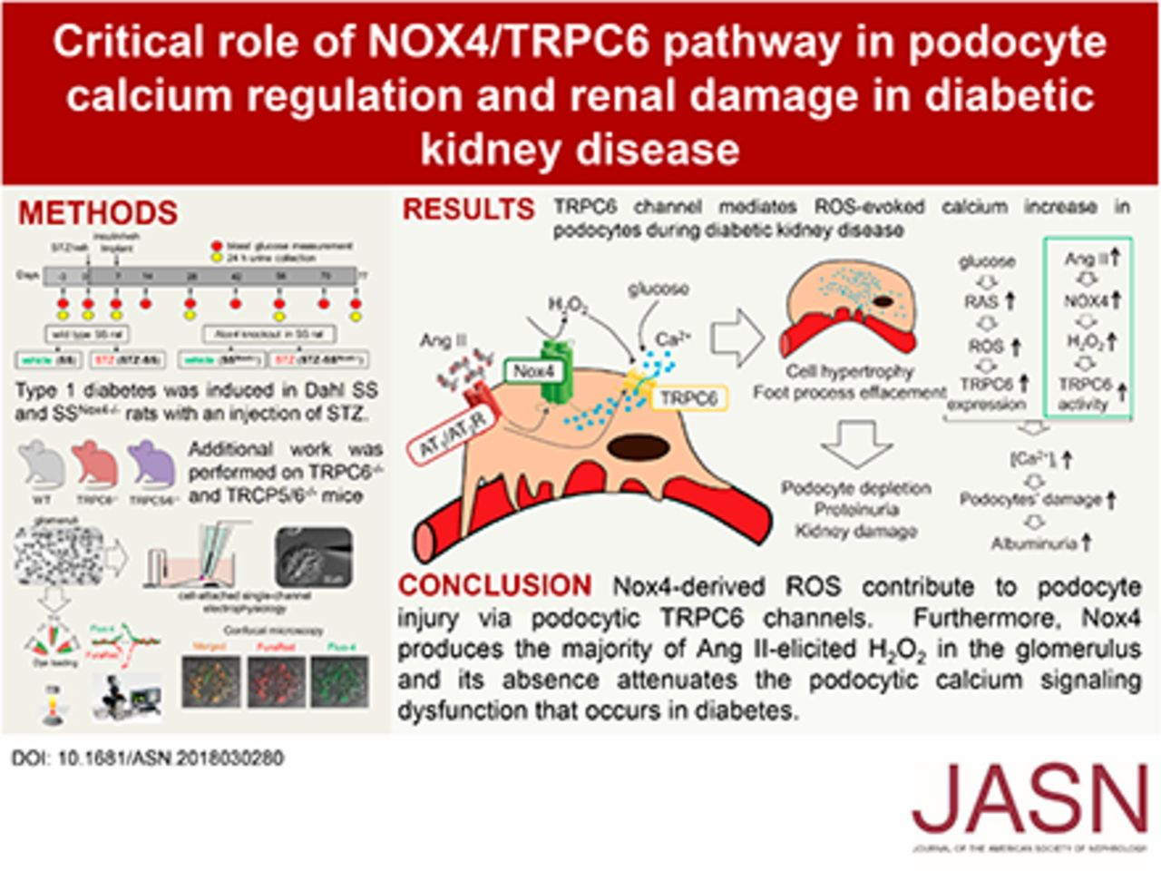A Nox4 Trpc6 Pathway In Podocyte Calcium Regulation And Renal Damage In Diabetic Kidney Disease American Society Of Nephrology