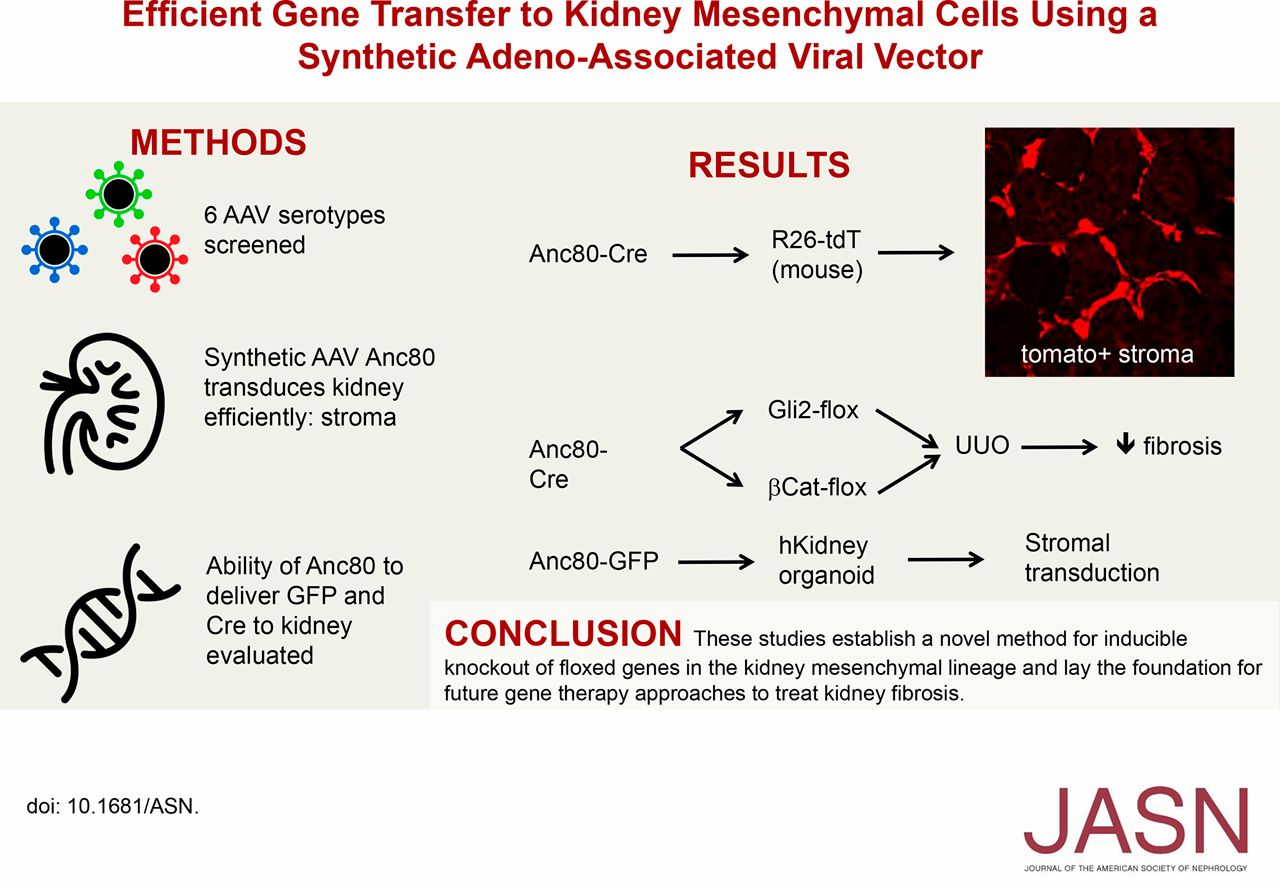 Efficient Gene Transfer To Kidney Mesenchymal Cells Using A Synthetic Adeno Associated Viral Vector American Society Of Nephrology