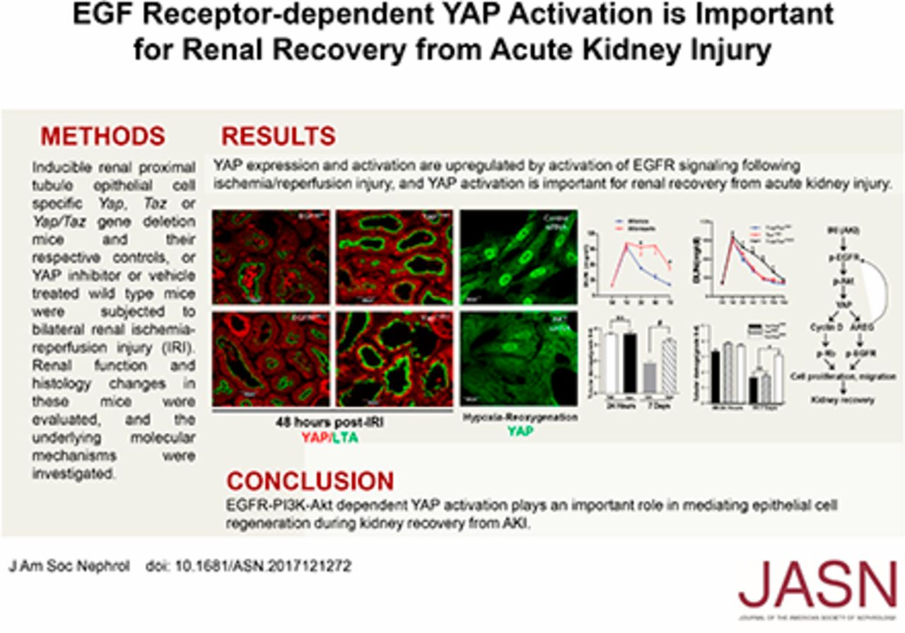 EGF Receptor–Dependent YAP Activation Is Important for Renal