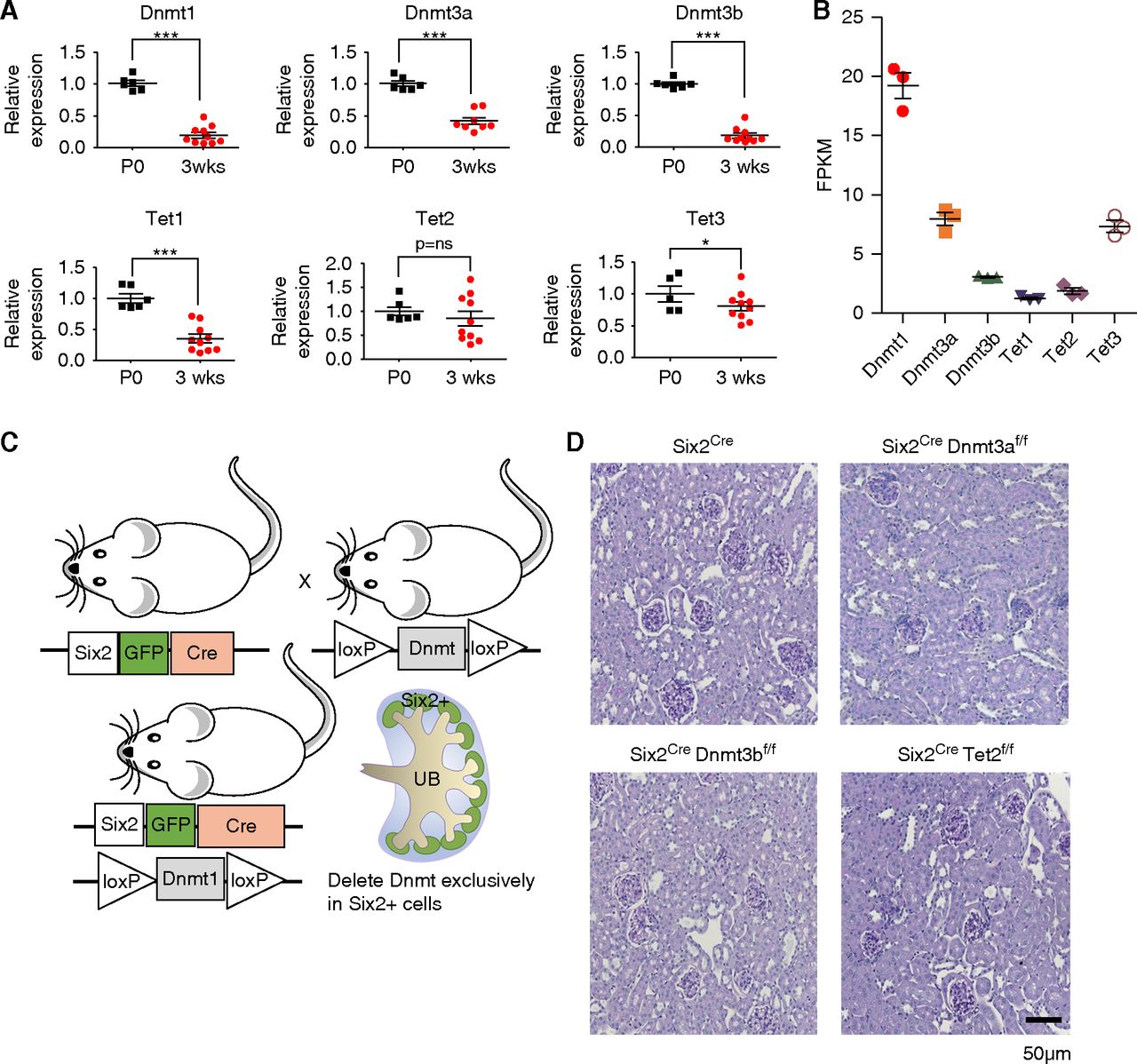 DNMT1 in Six2 Progenitor Cells Is Essential for Transposable