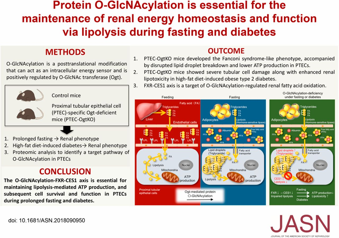 Protein O-GlcNAcylation Is Essential for the Maintenance of
