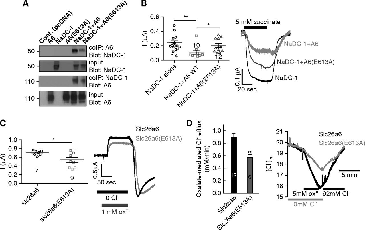 Systemic Succinate Homeostasis and Local Succinate Signaling