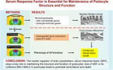 Serum Response Factor Is Essential for Maintenance of Podocyte Structure and Function