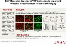 EGF Receptor–Dependent YAP Activation Is Important for Renal Recovery from AKI