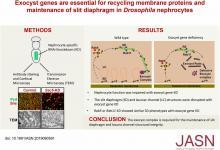 Exocyst Genes Are Essential for Recycling Membrane Proteins and Maintaining Slit Diaphragm in <em>Drosophila</em> Nephrocytes