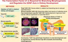 Transcription Factor 21 Is Required for Branching Morphogenesis and Regulates the Gdnf-Axis in Kidney Development