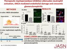 Therapeutic Myeloperoxidase Inhibition Attenuates Neutrophil Activation, ANCA-Mediated Endothelial Damage, and Crescentic GN