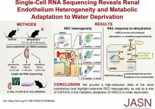 Single-Cell RNA Sequencing Reveals Renal Endothelium Heterogeneity and Metabolic Adaptation to Water Deprivation