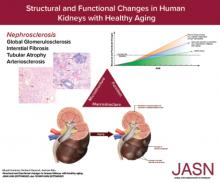 Structural and Functional Changes in Human Kidneys with Healthy Aging