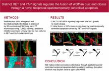 Reciprocal Spatiotemporally Controlled Apoptosis Regulates Wolffian Duct Cloaca Fusion